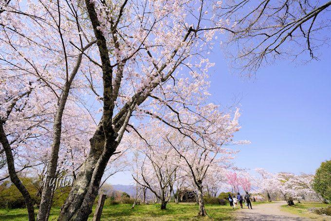 岡城跡「桜の馬場」でお花見!