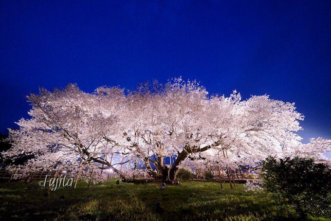夜桜ライトアップはシルエットがおすすめ!