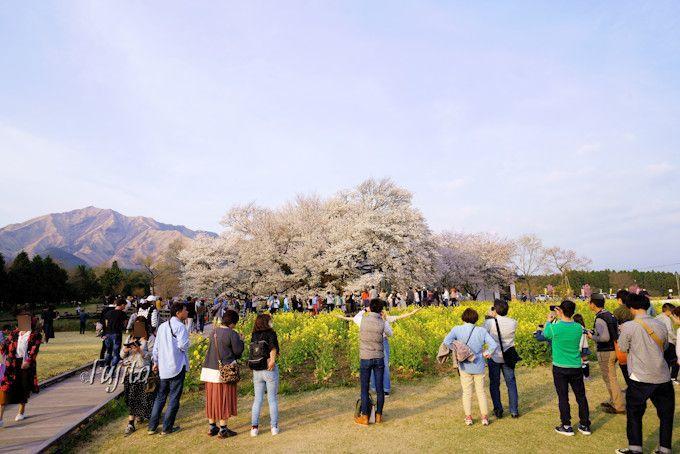 「一心行の大桜」は菜の花とコラボ!