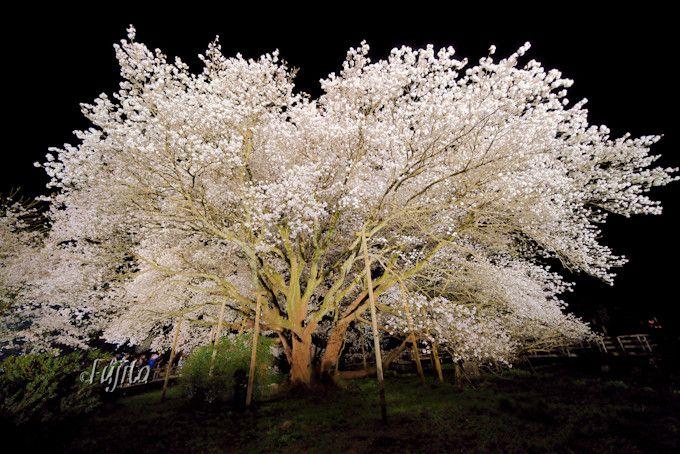 後ろ髪を引かれる夜桜との別れ