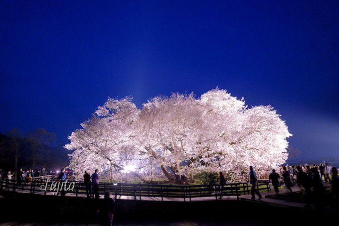 「一心行の大桜」夜桜ライトアップは3日間限定!熊本の一本桜