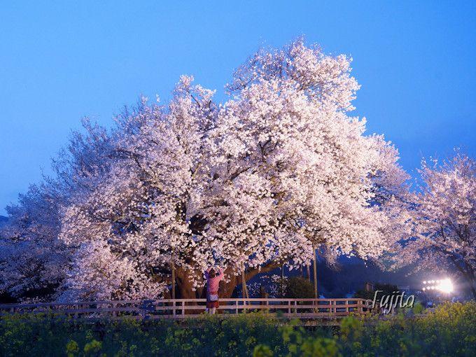 「一心行の大桜」のライトアップは必見!