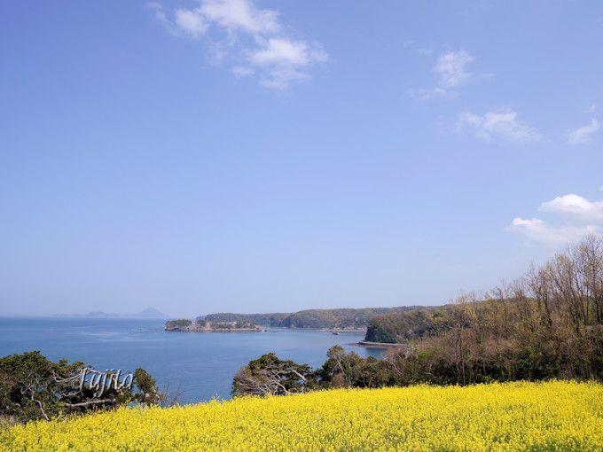 菜の花畑が海とコラボ!