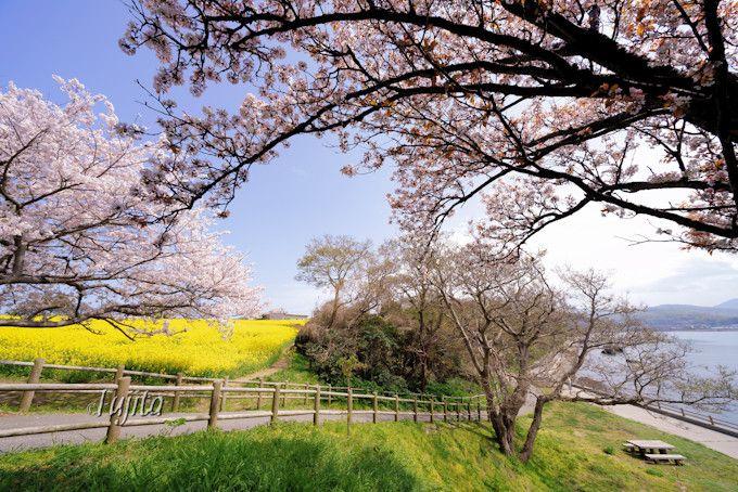 桜と菜の花と海を一望!