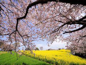 長崎鼻の桜が菜の花とコラボ!大分の花見名所はリゾート気分満点