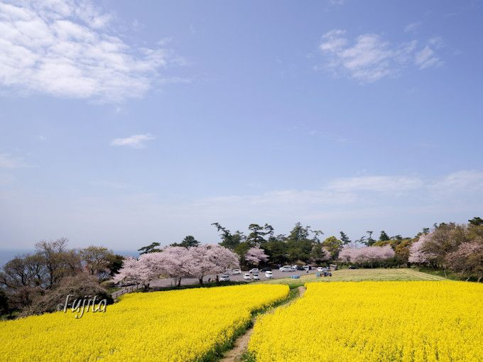 長崎鼻の桜は、菜の花畑の奥にあります!