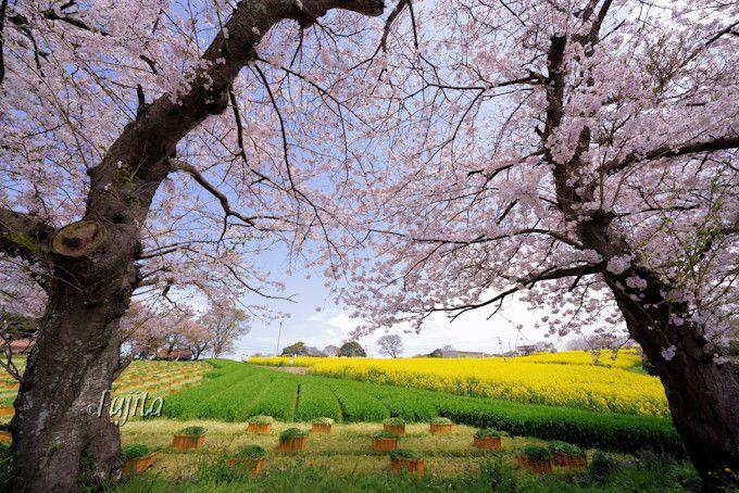 桜の側から菜の花畑を一望!