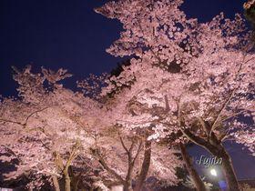 京都・嵐山の桜は中之島公園がおすすめ!夜桜ライトアップも必見