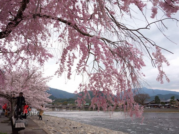 嵐山の桜や渡月橋を望む花見!