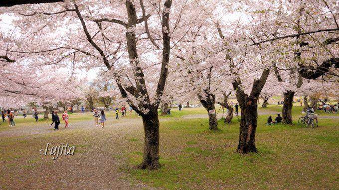 京都嵐山・中之島公園の桜は入口から満開!