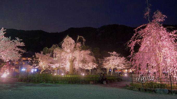 夜桜のライトアップも絶景!