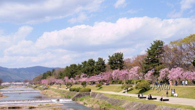 賀茂川としだれ桜の並木道が美しい!