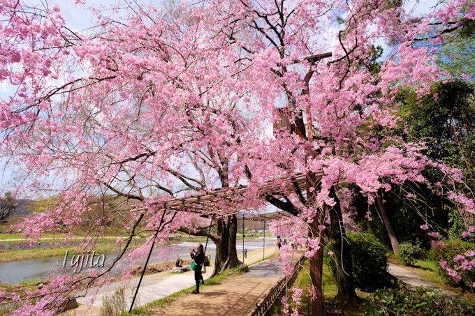 半木の道は桜の散歩道!京都・賀茂川の花見名所は午後がおすすめ