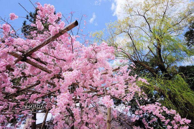 しだれ桜のアップでインスタ映え!