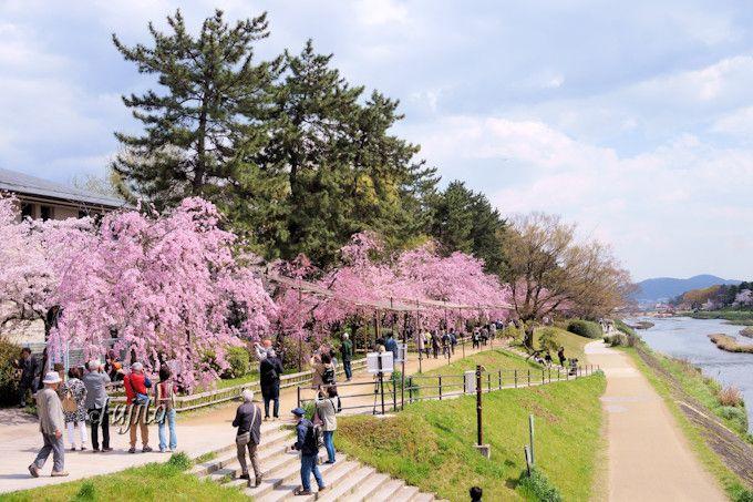 半木の道は、しだれ桜の並木道!