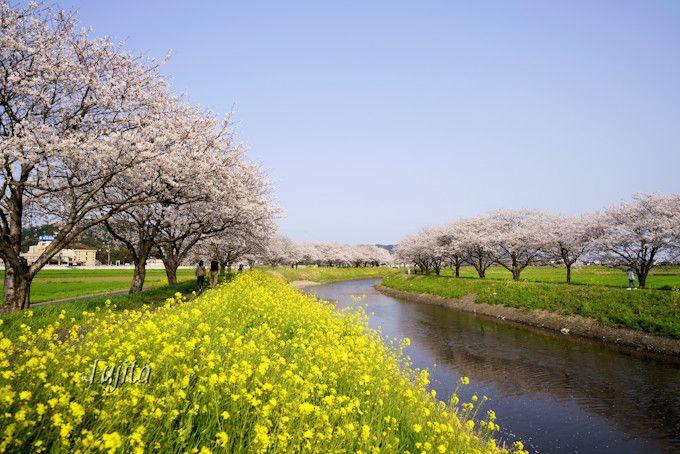 草場川の桜が菜の花とコラボ!