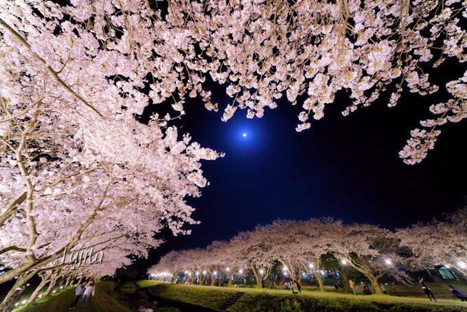 ふれあい広場の夜桜ライトアップも美しい!