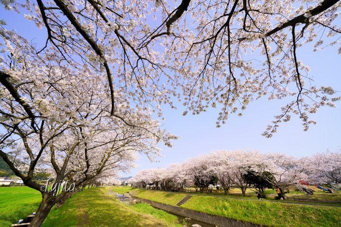 草場川の桜並木は穴場の花見名所!