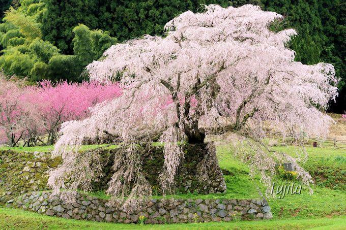 又兵衛桜は石垣に映える!