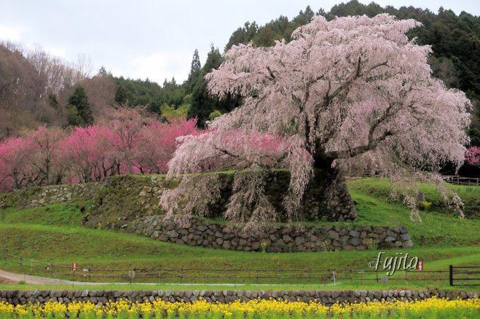 まるで一本桜の万華鏡!
