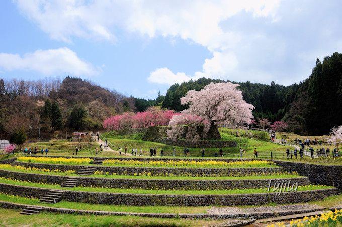 周辺環境まで美しい一本桜!