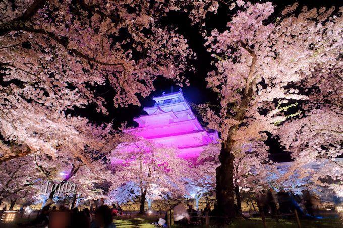 夜桜の中に天守閣が浮かび上がる!