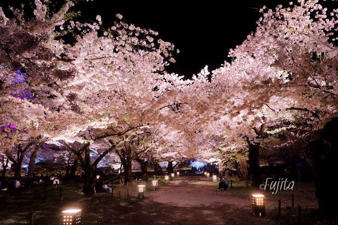 桜と石垣のライトアップも必見!