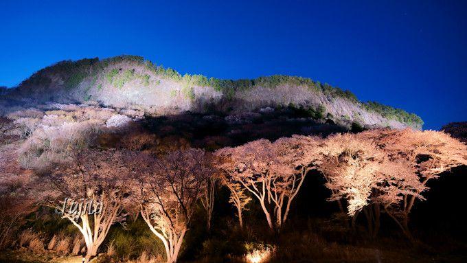 夜桜と屏風岩のライトアップ!