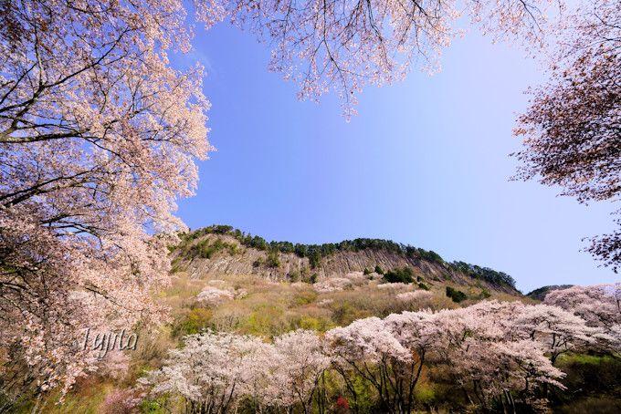 桜に囲まれた屏風岩!