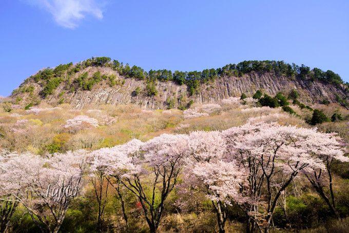 屏風岩公苑の桜は岩壁に映える!