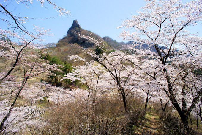桜と妙義山のコラボを様々なアングルで!