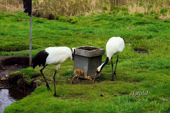 釧路湿原で暮らす丹頂鶴の様子を観察可能!