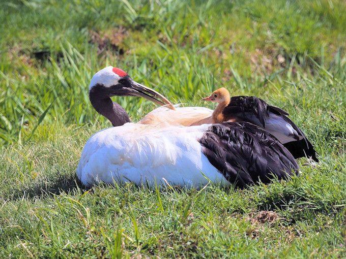 鶴公園は必見!釧路市丹頂鶴自然公園で鶴のヒナに会えるかも | 北海道 ...