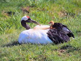 鶴公園は必見!釧路市丹頂鶴自然公園で鶴のヒナに会えるかも