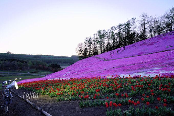 太陽の丘えんがる公園は芝桜のライトアップを実施!