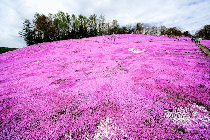 えんがる公園の芝桜は入場無料!