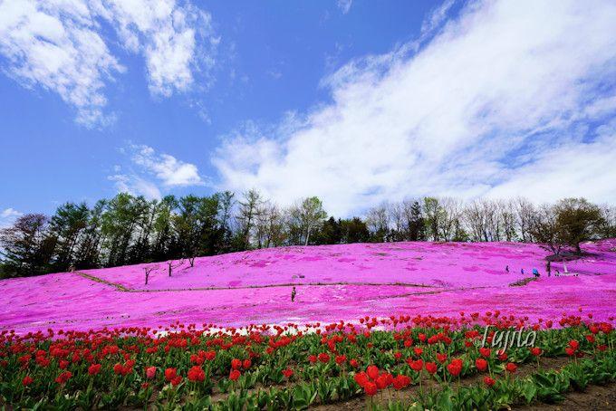 遠軽町の芝桜はチューリップとコラボ!