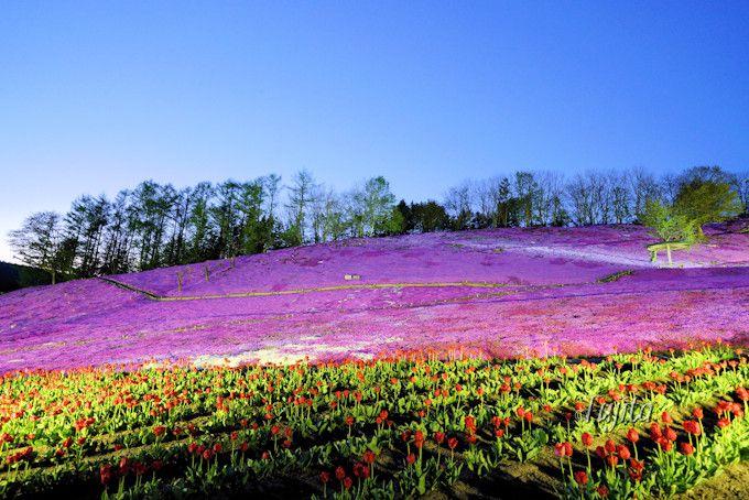 太陽の丘えんがる公園の芝桜5つの魅力!北海道・遠軽町の穴場芝桜名所