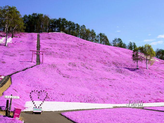 芝桜とピンク色の鳥居がコラボ!
