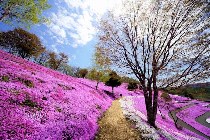 芝桜の丘に登る遊歩道も美しい!