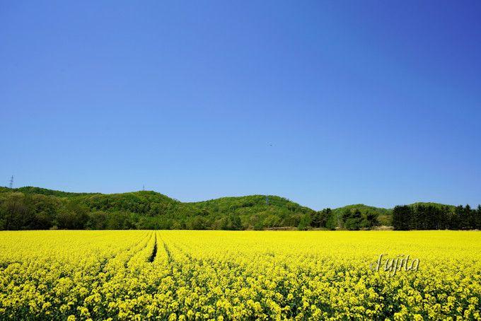 安平町北西部の菜の花畑は山が背景!