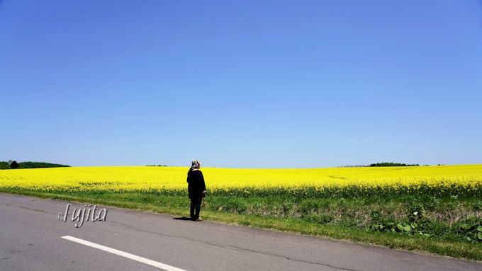 安平町の菜の花は道路上から拝見しよう!