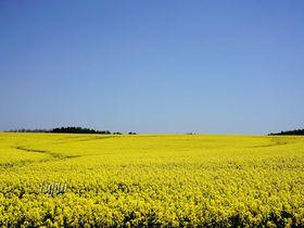 安平町の菜の花は北海道代表級!畑のマップ片手に絶景を探そう
