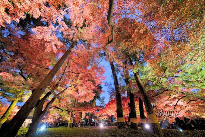 紅葉のライトアップが圧倒的な美しさ!
