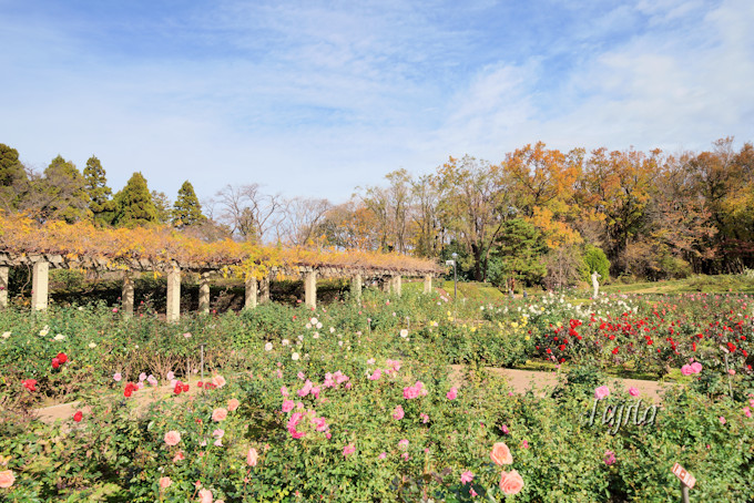 紅葉と秋バラと噴水がコラボ!