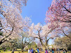 新宿御苑の桜は見頃が2回!ライトアップも美しい東京の花見名所