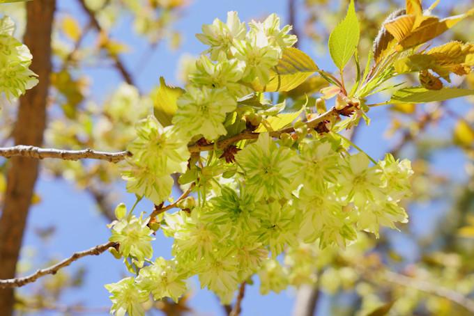 遅咲きの桜は珍しい品種に注目!