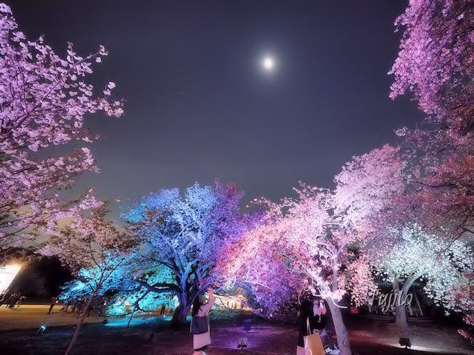 夜桜のライトアップは八重桜の見頃に!