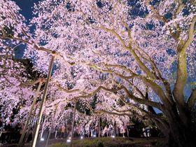六義園の桜はライトアップが必見!東京を代表する「しだれ桜」