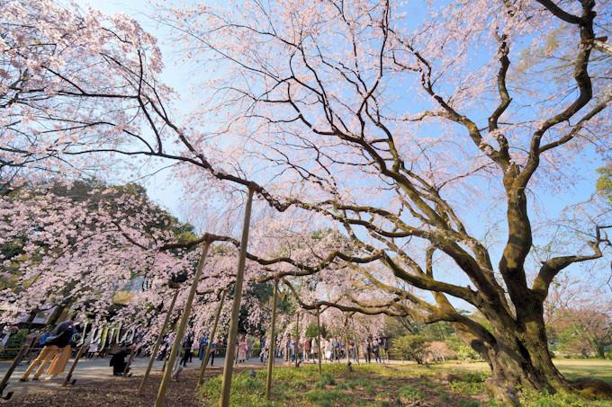 しだれ桜は昼間も大人気!
